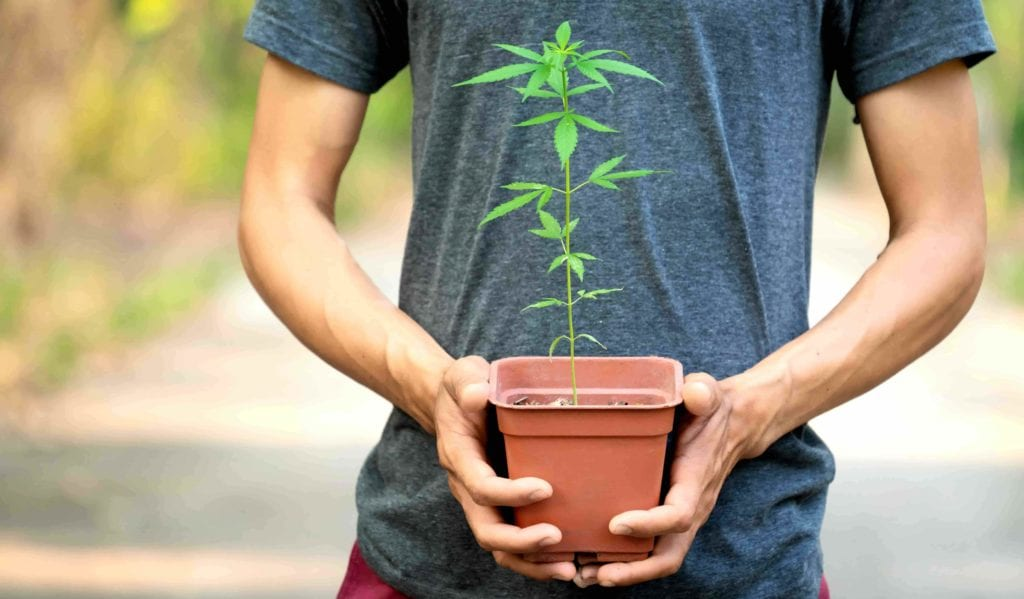 How to sprout hemp seeds